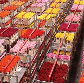 Traditions hollandaises et la criée aux fleurs