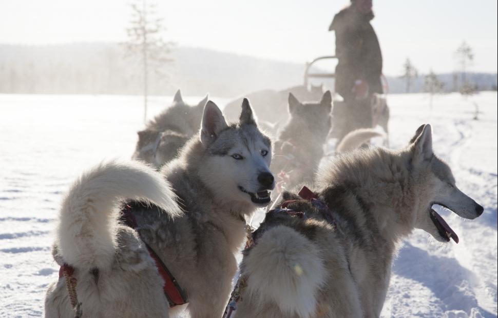 Chiens traineux - (c)Visit Finland