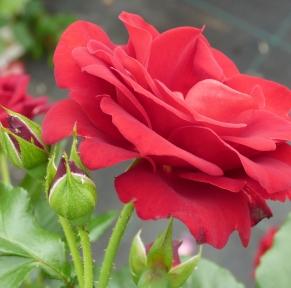 La route de la rose en Orléanais