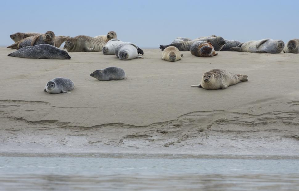 Baie de Somme, phoques  Somme Tourisme - Stephane Bouilland