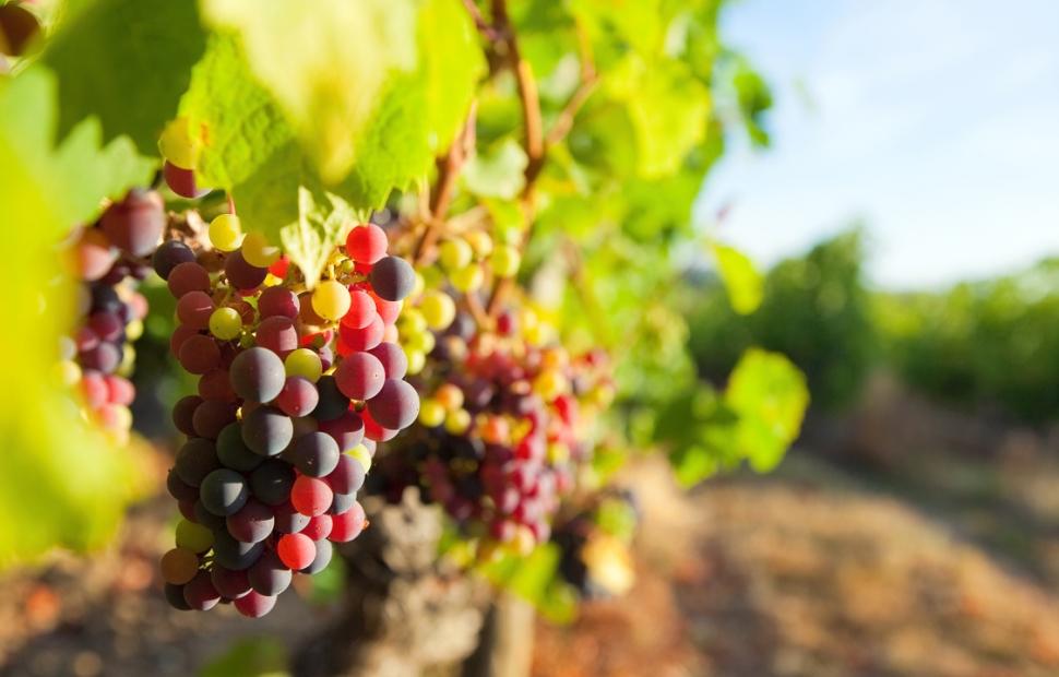 6. (C) vigne (c) Fotolia