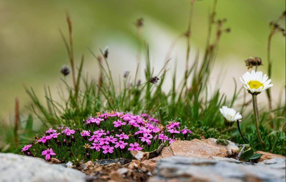 Serfaus, fleurs (c) AdobeStock