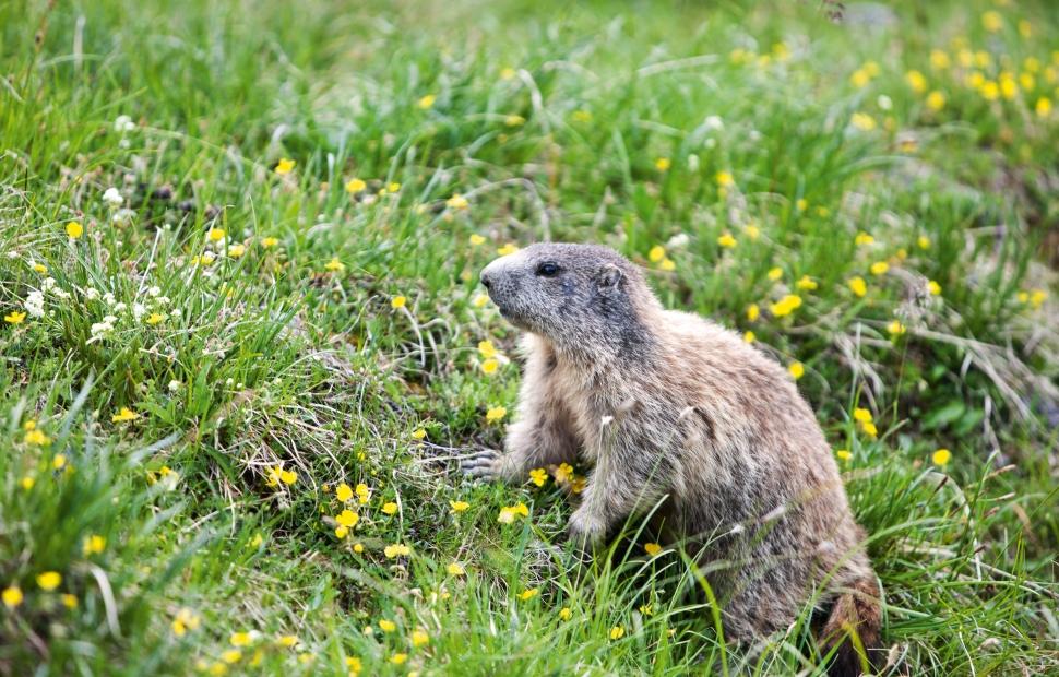 Marmottes (c) Switzerland Tourism By-line swiss-image.chNico SchaererSTST - STTP