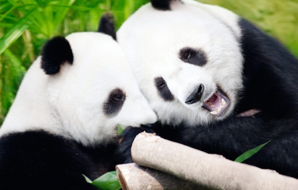 Pandas � Olga Khoroshunova - Fotolia